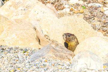 Marmot popping up
