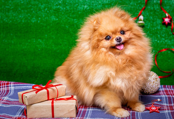 Puppy. Spitz is a cute puppy as a model. Christmas puppy.