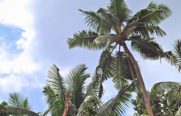 Beautiful palm trees at the white sand beach on the paradise islands Seychelles