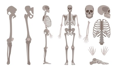 Vector human skeleton body bones and skull set