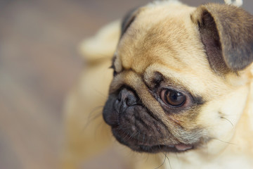 Decorative dog breed pug. Animal. The dog stands on a wooden parquet. Pug light color. Friend of human. Pet. Dog on a leash. Big eyes of an animal.
