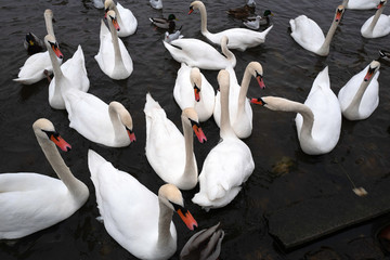 A flock of white swans swims in the river