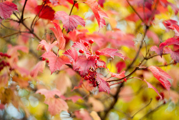 Abstract background of colorful beautiful red autumn red berry leaves. Photograph with sharp blur