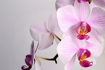 beautiful Phalaenopsis orchid flowers, isolated on white background