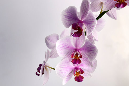Isolated pink orchid flowers. Stem of blooming Phalaenopsis. Realistic