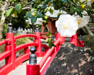 White camellia flowers at traditional Japanese garden with red arched bridge