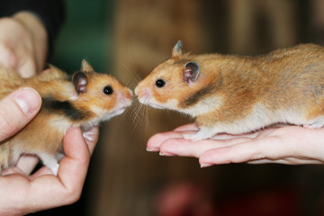 Two hamsters like each other cute romantic moment