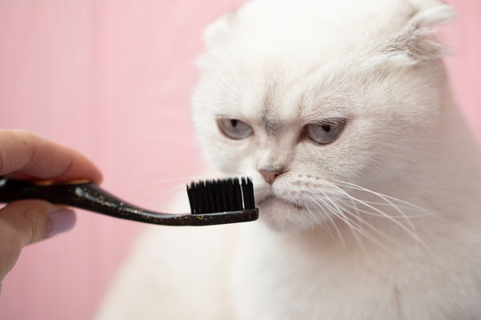 Veterinarian brushing cat's teeth with toothbrush. shorthair cat playing with toothbrush, isolated on pink background