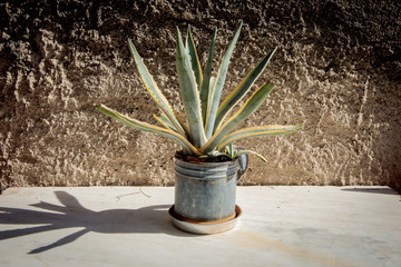 Agave plant in a metal pot