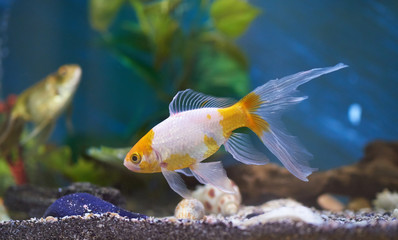 Goldfish in blue aquarium water