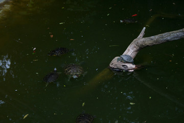Turtles Trachemys scripta or Pond slider with red-eared slider in the pond resting on branch.
