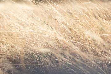 Foxtail grass Closeup Background