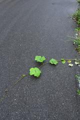 横断中の葛の葉