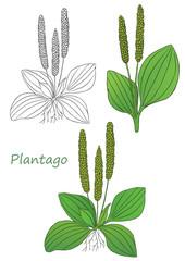 Medicinal herbs collection. Vector hand drawn illustration of a plant plantago