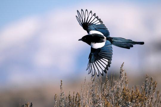Black-billed magpie in Antelope Island, Utah