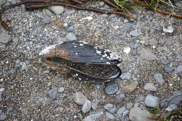 mollusk shell