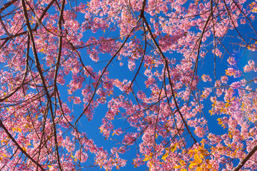 Cherry blossoms or Sakura flower in Thailand