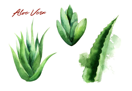 Watercolor aloe vera leaves