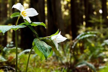 White trillium (Trillium ovatum), a spring wildflower, in a redwood forest