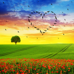 Silhouette of birds flying in heart formation at sunset sky.Spring landscape with blooming poppy field.