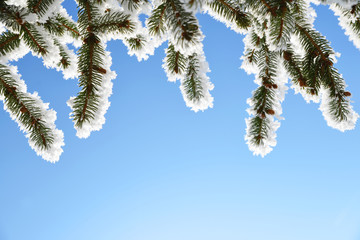 Frozen branches of spruce tree with blue sky in the background. Winter season.