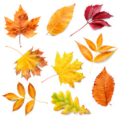 Wall Mural - Different autumn leaves on white background