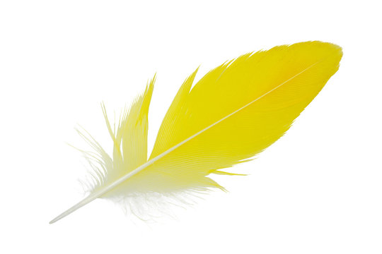 Beautiful parrot lovebird yellow feather isolated on white background