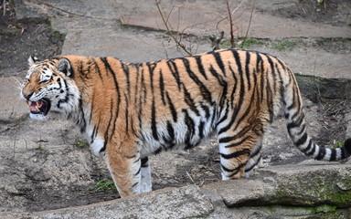 a tiger defends its territory
