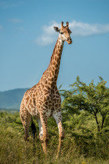 A giraffe walks toward the camera in Umkhuze Game Reserve, Isimangaliso Wetland Park, South Africa