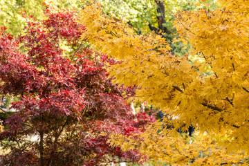 acer palmatum red wood