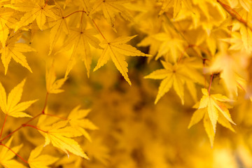 acer palmatum red wood leaves with autumn colors