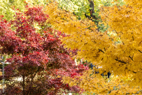 Acer Palmatum Red Wood Stock Photo And Royalty Free Images On