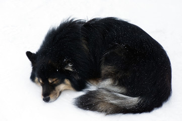 Finnish Lapphund sleeping in snow.