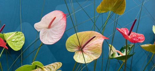 Bunte Flamingoblumen, Anthurium