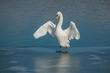 Beautiful white mute swan with orange beak standing on frozen lake stretching her wings, sunny winter day, water with reflection of blue sky in background