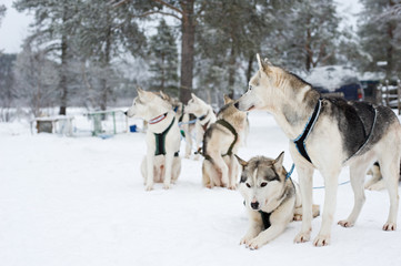 Group of sled dogs waiting to run. Focus on foreground.