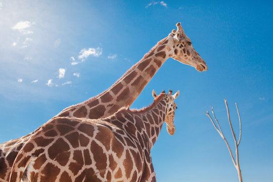 Giraffes on nature