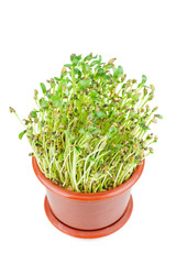 Fenugreek sprouts isolated on white background