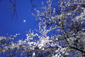 Foto op Canvas Kersenbloesem 夜桜