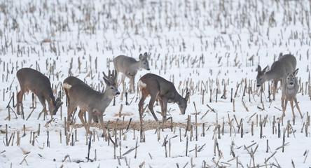 Roe deer feed in a field near the village of Garadishche