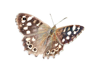 Speckled Wood butterfly cut out and isolated on a white background