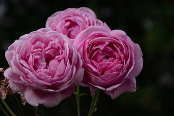Bishop Castle Rose pink close-up