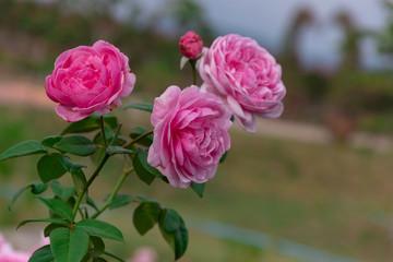 Bishop Castle Rose pink garden
