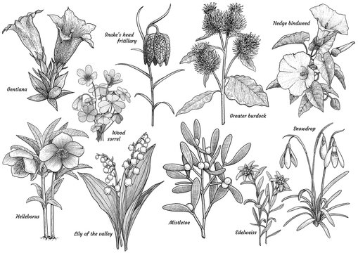 Wildflower collection, illustration, drawing, engraving, ink, line art, vector