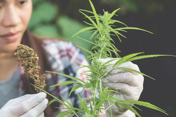Young farmers check the quality of marijuana trees, Farmer growing hemp and checking plants growth, agriculture and environment concept