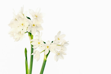 Poster de jardin Narcisse White wild narcissus on white background