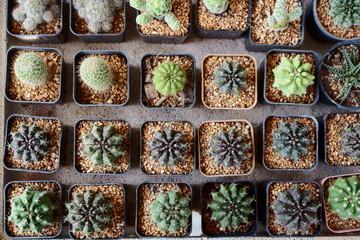 Cactus in a market