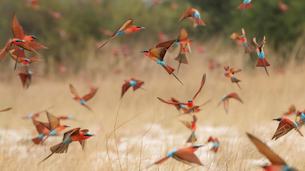 Southern carmine bee-eaters Wall mural