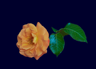 Color fine art still life floral macro image of a single isolated orange rose blossom with leaves on dark blue background with detailed texture