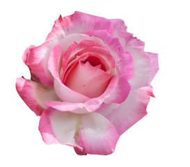 Beautiful blooming pink rose for mother's day on isolated background